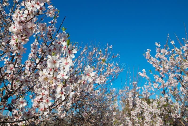Blomma träd fjädra bakgrund, vita blommor arkivbilder