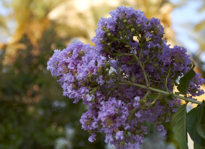 Blomma trädet med purpurfärgade blommor mot blåtten arkivbild
