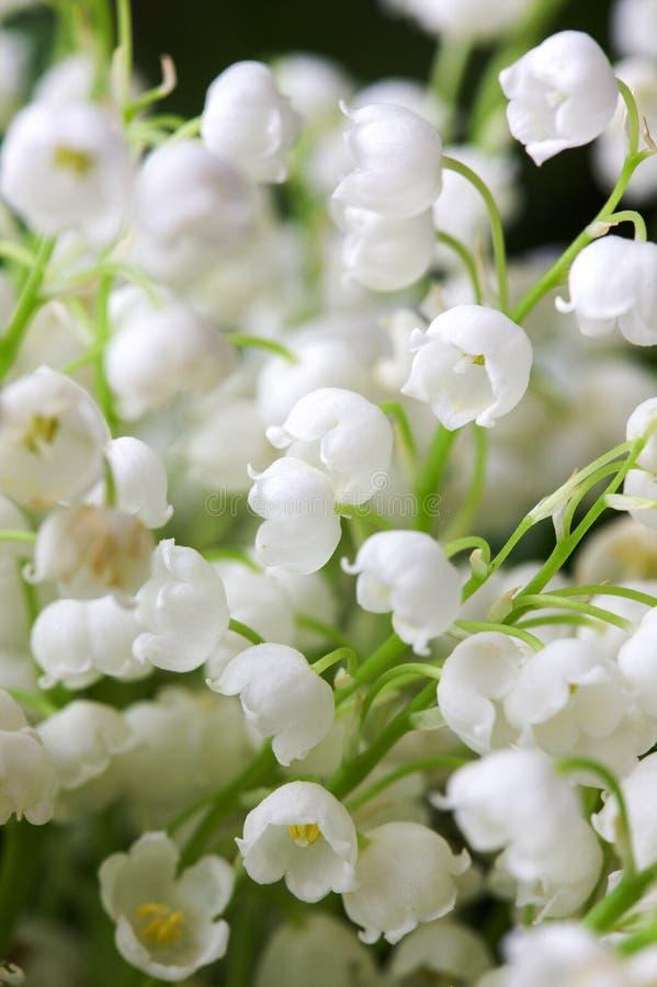 blomma trädgårds- lilja Spring Valley royaltyfri foto