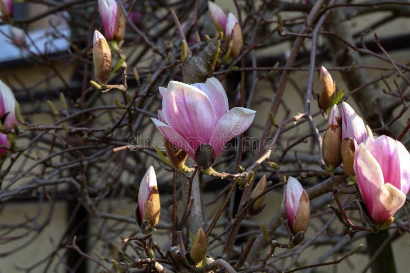 Blomma tr?det - h?rlig blomstrad magnoliafilial i v?r fotografering för bildbyråer