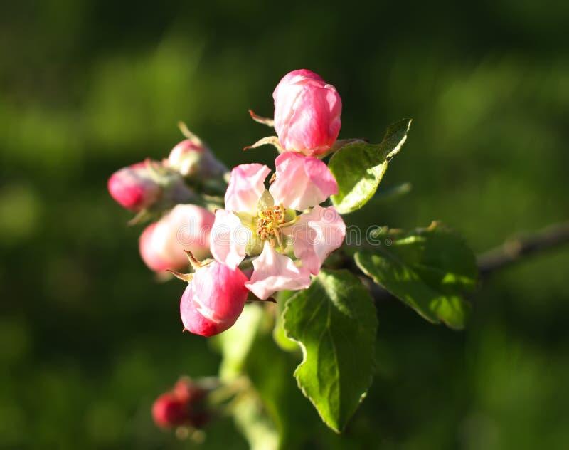 Download Blomma tree för äpple fotografering för bildbyråer. Bild av utomhus - 78726293