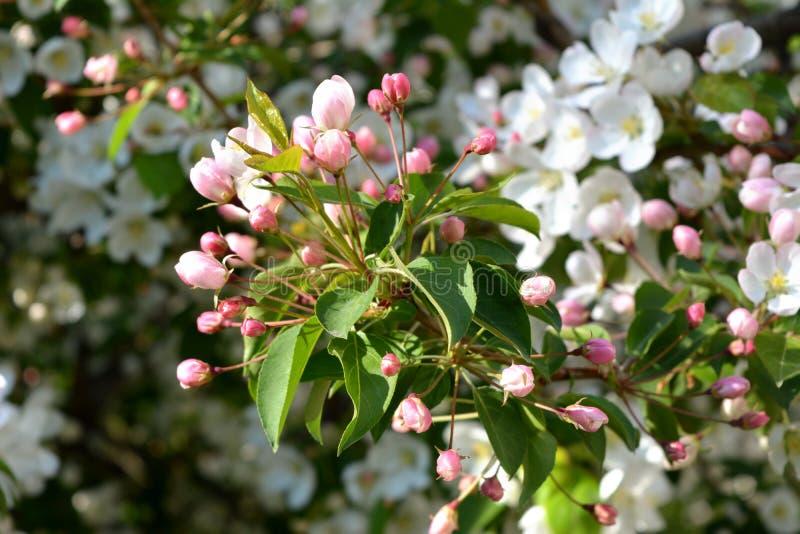 blomma tree för äpple Uppvecklade rosa färgknoppar och vita blommor arkivfoto
