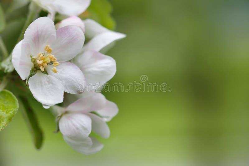 blomma tree för äpple Vita blommor för makrosikt Vårnaturlandskap slapp bakgrund arkivfoton