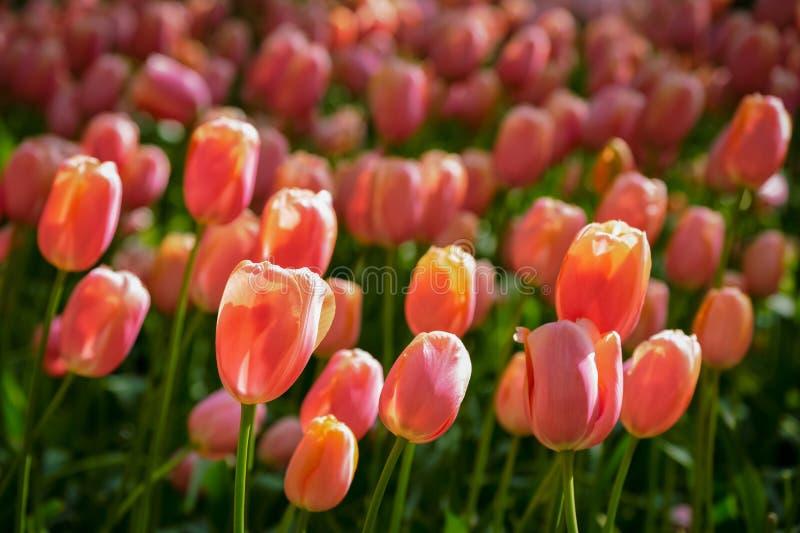 Blomma tulpanblomsterrabatten i Keukenhof blommaträdgård, Nederländerna royaltyfri fotografi