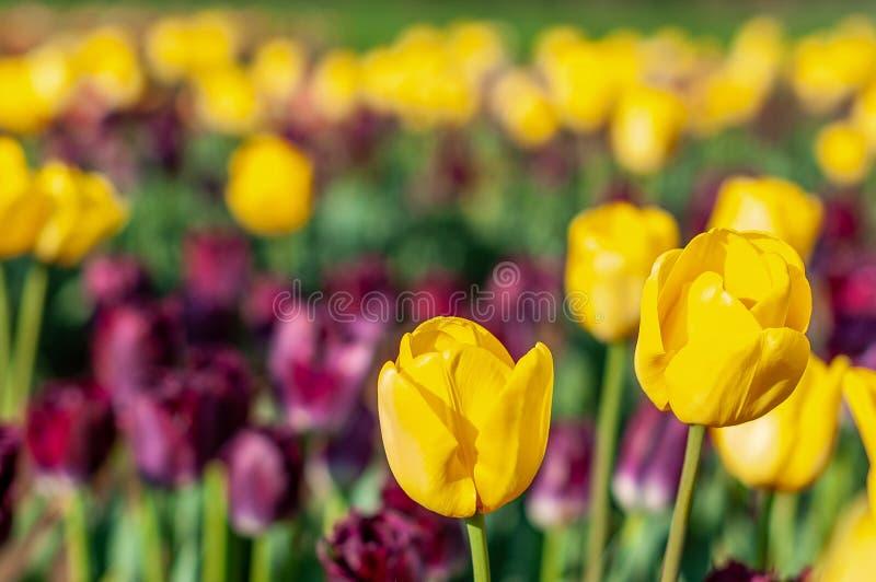 Blomma tulpanfält i Nederländerna, blomma med blurrred färgrika tulpan som bakgrund Selektiv fokus, tulpanslut upp royaltyfria foton