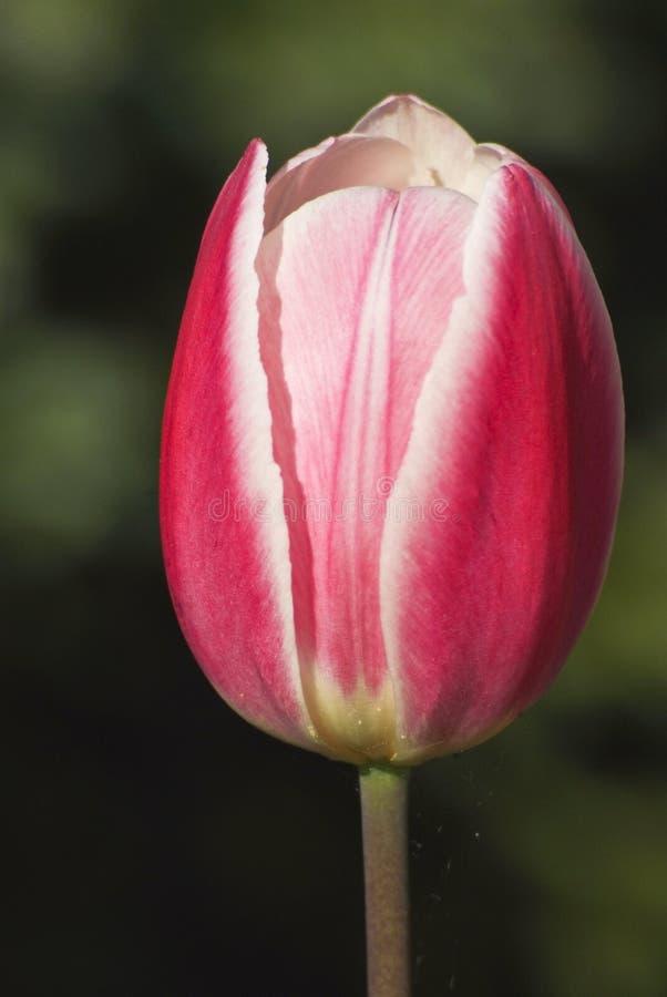Blomma, tulpanknoppen, vitt och rött royaltyfria foton