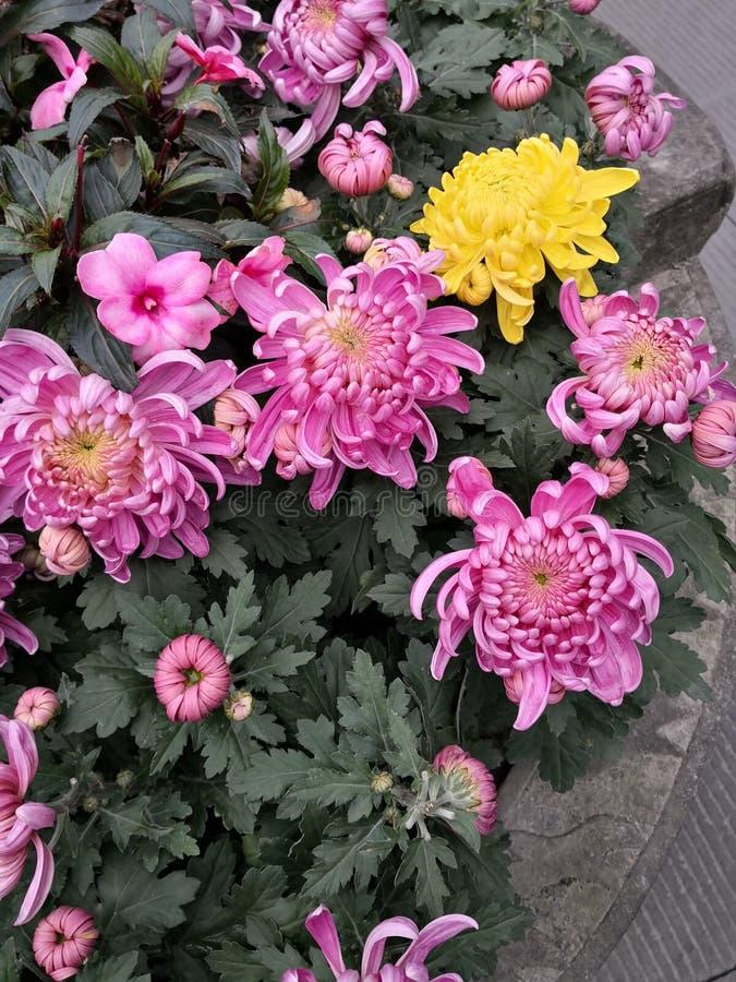 Blomma tusensk?nan i Chengdu royaltyfri fotografi