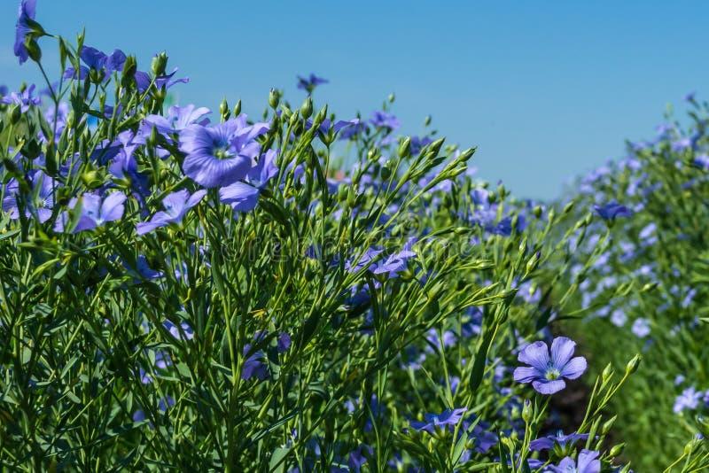 Blomma unga växter av lin på fältet, under plockning, mot himlen Närliggande finns det bikupor med bin fotografering för bildbyråer