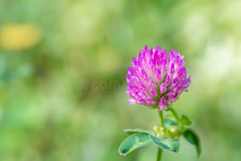 Blomma växt av släktet Trifolium på en grön äng på en solig dag Gräs och blommor i ett fält i en sommar Suddig bakgrund f?r natur royaltyfri foto