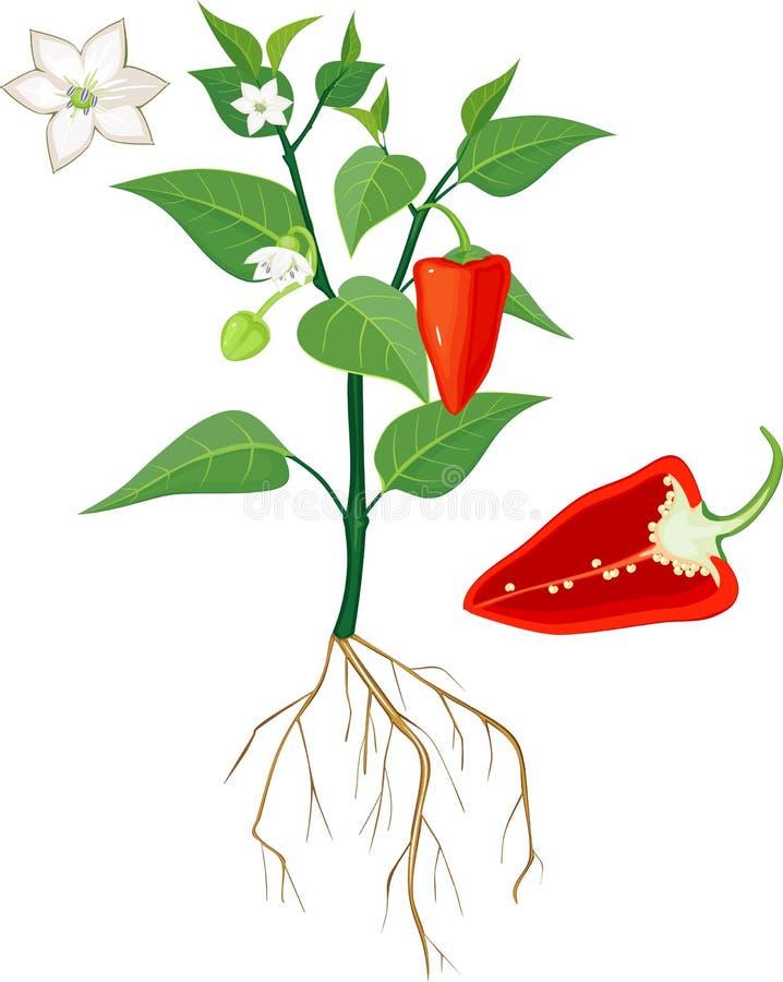 Blomma växten för söt peppar med rota systemet, och separat röd söt peppar klippte i halva inom längsgående avsnitt stock illustrationer