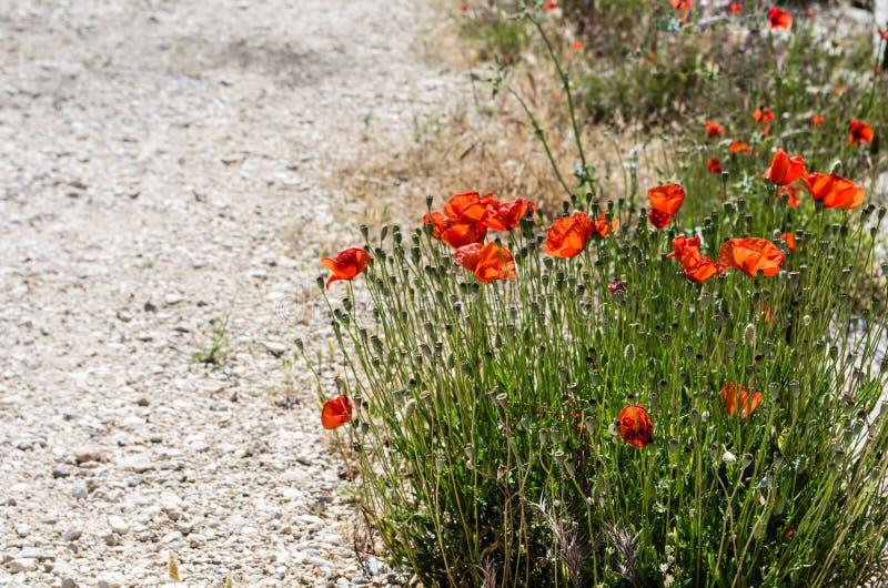 Blomma vallmoväxter bredvid en grusväg royaltyfri fotografi