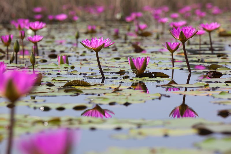 blomma vatten för Hong Kong lili marsklanpink royaltyfria bilder