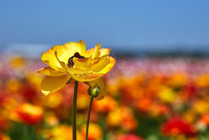 Blomma vildblommor, f?rgrika sm?rblommor p? en kibbutz i sydliga Israel arkivbild