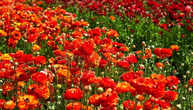Blomma vildblommor, f?rgrika sm?rblommor p? en kibbutz i sydliga Israel arkivfoton