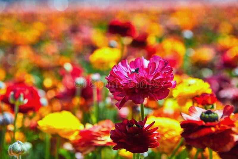 Blomma vildblommor, f?rgrika sm?rblommor p? en kibbutz i sydliga Israel royaltyfri foto