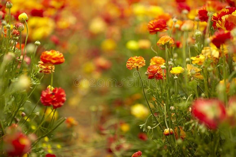 Blomma vildblommor, r?tt och gult, i en kibbutz i sydliga Israel fotografering för bildbyråer