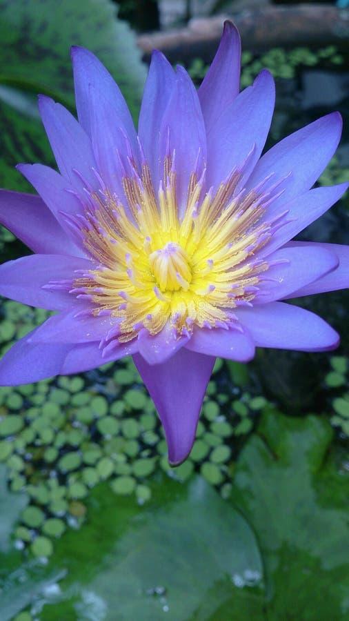 Blomma violett lotusblomma royaltyfria foton