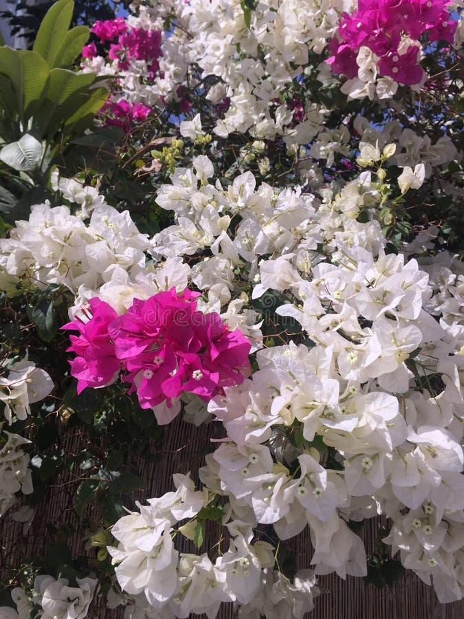 Blomma vit bougainvilleablomman för den rosa färger som och fördelar i trädgård Härlig och färgrik bakgrund arkivfoton