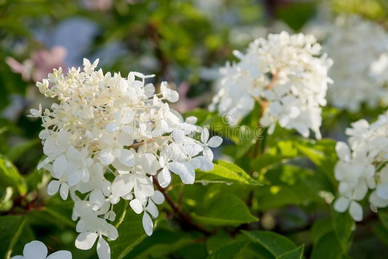 Blomma vita Annabelle Hydrangea arborescens som gemensamt är bekanta som slät vanlig hortensia, lös vanlig hortensia eller sevenb arkivbilder