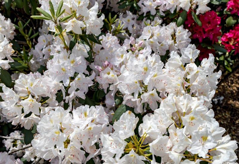 Blomma vita blommor av Rhodenron En stor garnering för någon trädgård royaltyfria bilder