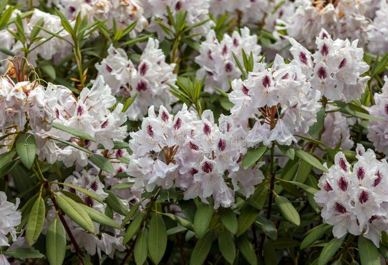 Blomma vita blommor av Rhodenron En stor garnering för någon trädgård royaltyfria foton