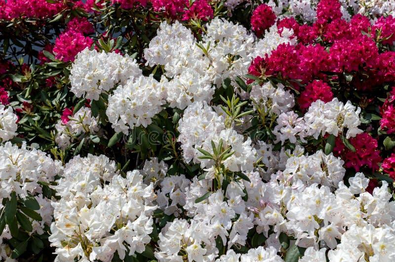 Blomma vita blommor av Rhodenron En stor garnering för någon trädgård royaltyfri bild