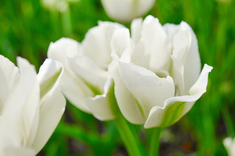 Blomma vita tulpan i sommarträdgård Härlig vår och sommarbakgrund arkivbilder