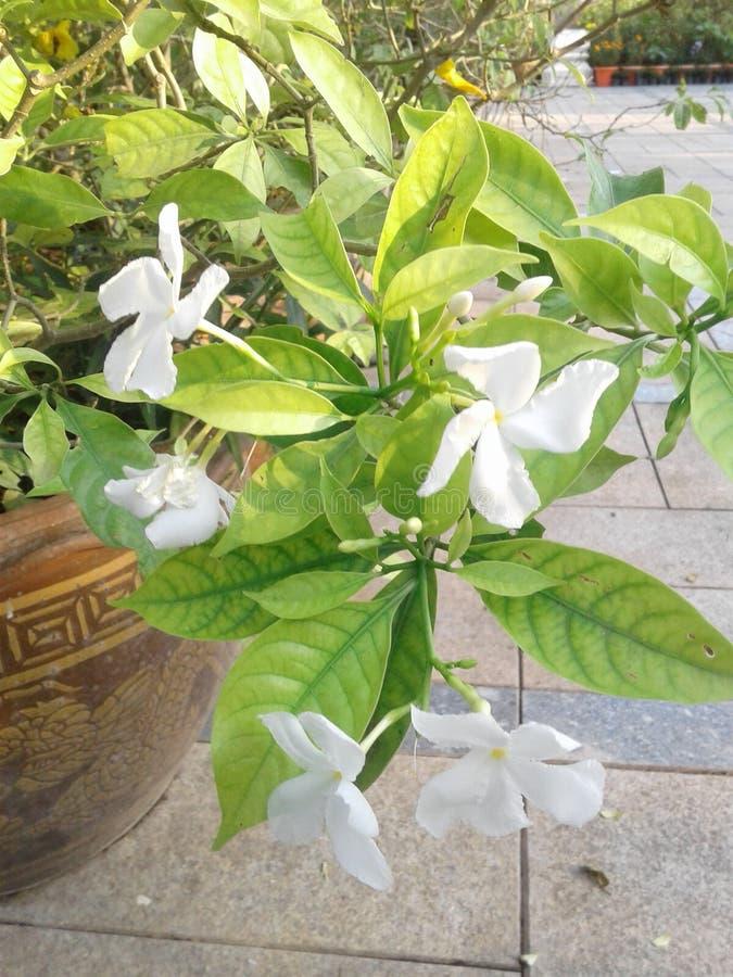 blomma white fotografering för bildbyråer