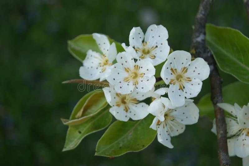 blomma white royaltyfri foto