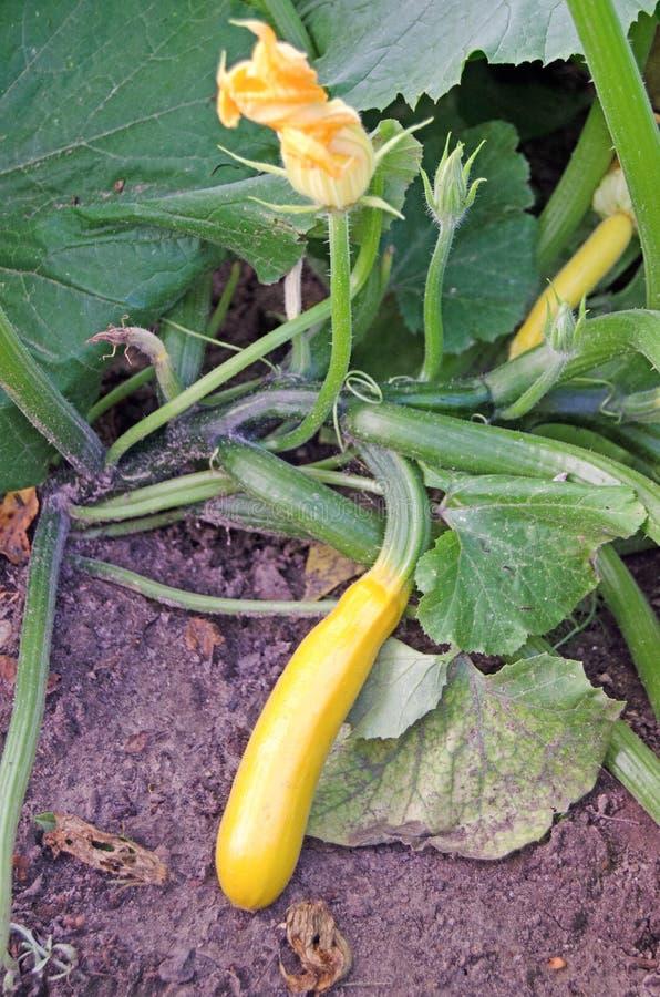 Blomma zucchini Ung zucchini i tr?dg?rden royaltyfri foto