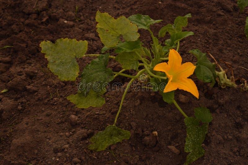 Blomma zucchinin i min trädgård royaltyfri fotografi