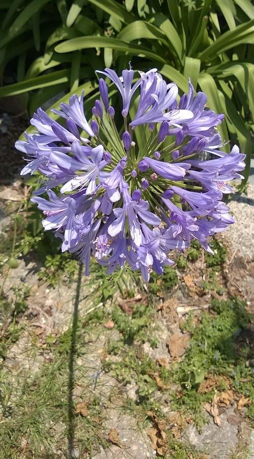 Blommaagapanthus i fullständigheten av dess blomning royaltyfria bilder