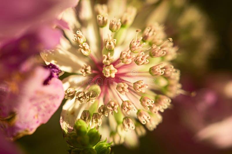 BlommaAstrantiamakro arkivfoto