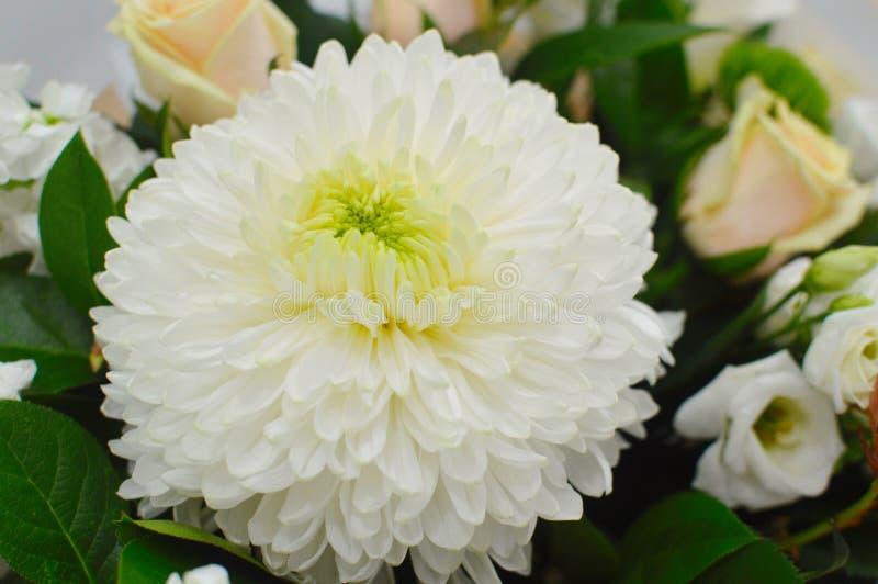Blommabakgrund av den vita krysantemumet arkivbild