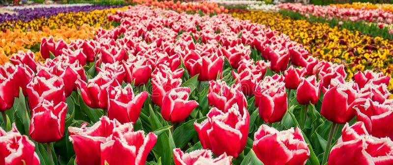 Blommabakgrund med det färgrika tulpanfältet royaltyfria foton