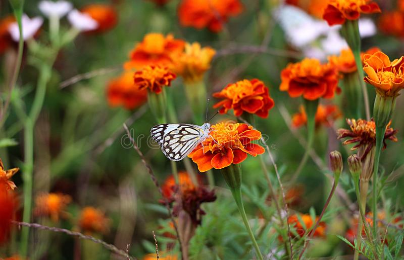 Blommabakgrunder och fjärilsbild royaltyfria foton