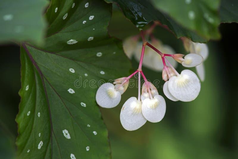 Blommabegonia arkivfoto