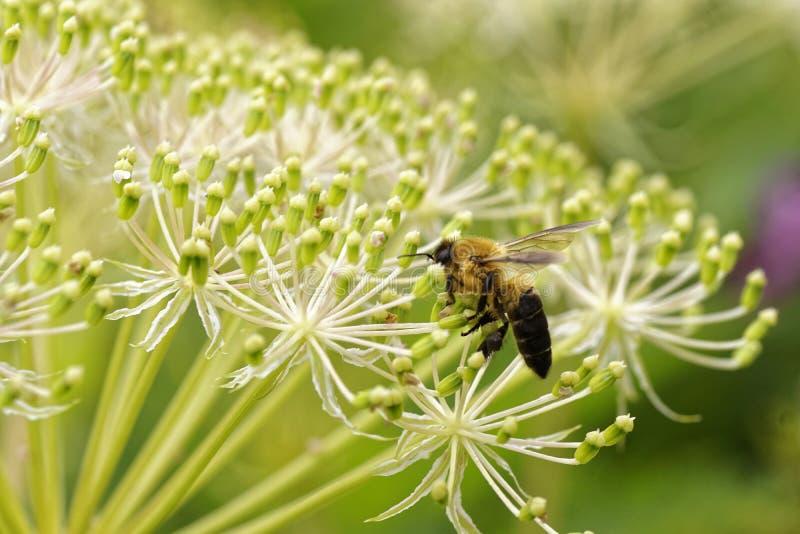Blommabi och nektarmakrofoto royaltyfria bilder