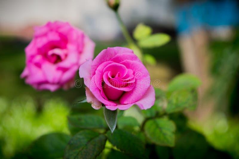 Blommabild, Rose Flower bild, HD-blommabild royaltyfri foto