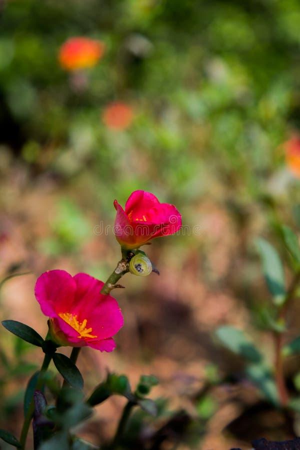 Blommabild, Rose Flower bild, HD-blommabild arkivfoto