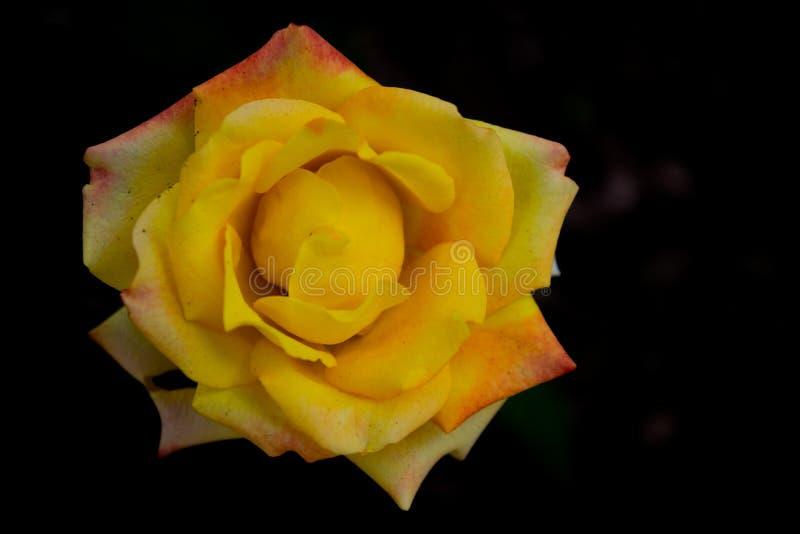 Blommabild, Rose Flower bild, HD-blommabild royaltyfria bilder
