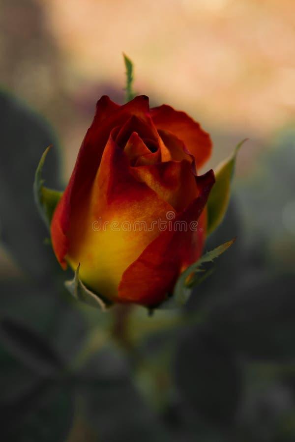 Blommabild, Rose Flower bild, HD-blommabild arkivbilder