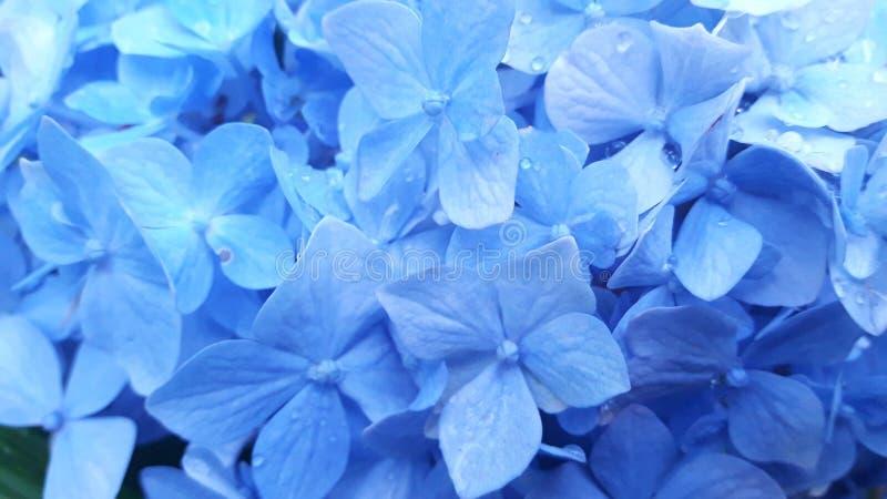 Blommablått arkivfoto