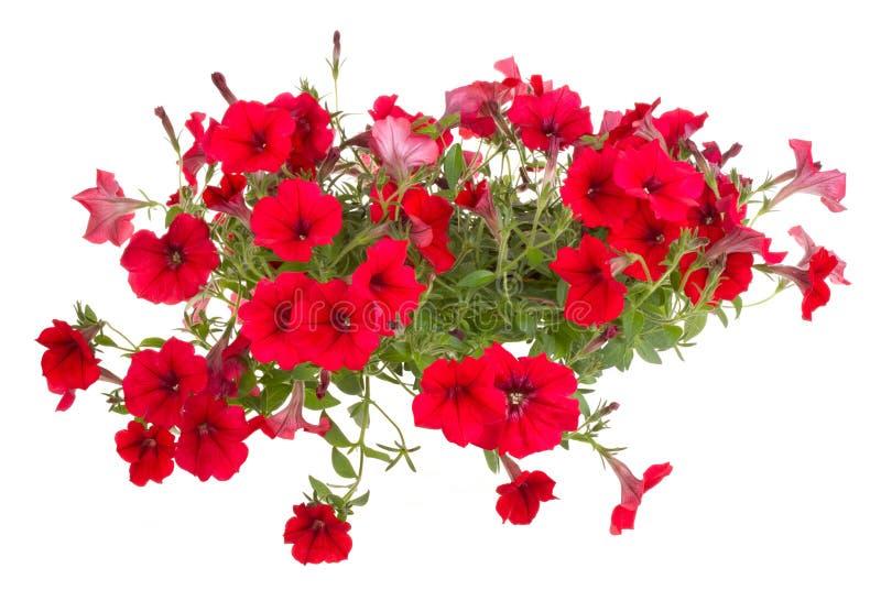 blommablommor lägger in röd surfinia arkivfoto