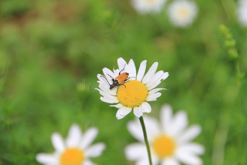 Blommablomning för vit tusensköna i trädgården fotografering för bildbyråer