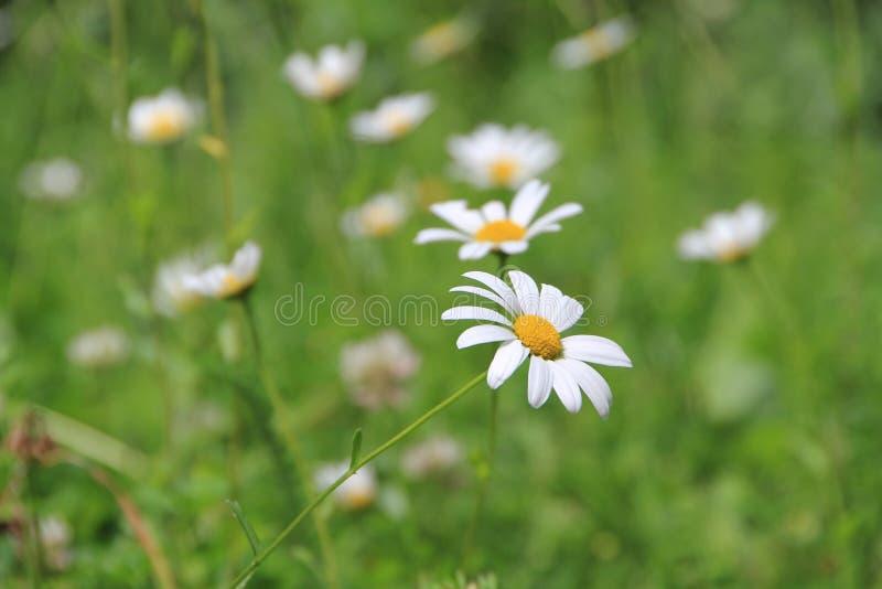 Blommablomning för vit tusensköna i trädgården arkivbilder