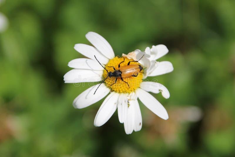 Blommablomning för vit tusensköna i trädgården royaltyfri foto