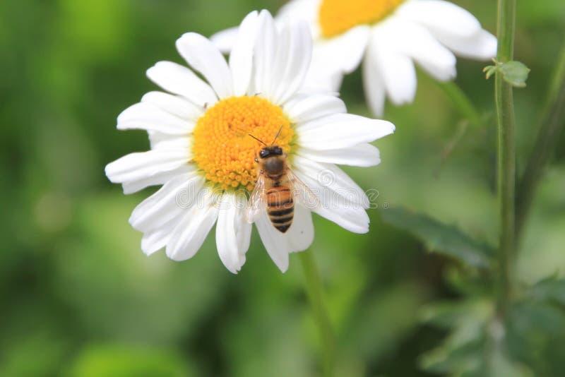 Blommablomning för vit tusensköna i trädgården royaltyfria foton