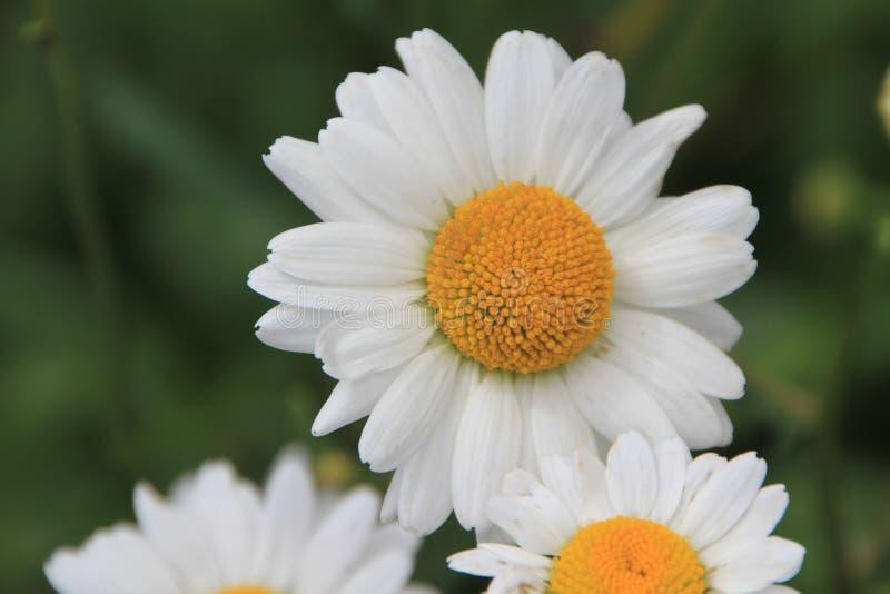 Blommablomning för vit tusensköna i trädgården royaltyfria bilder