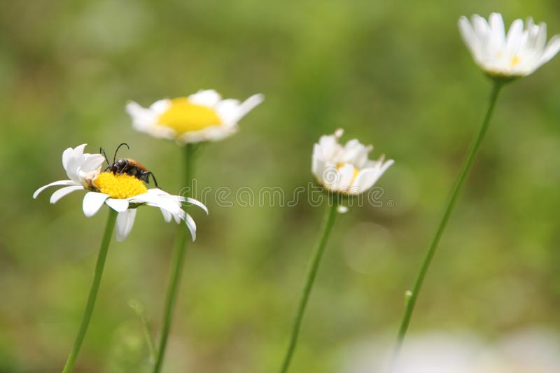 Blommablomning för vit tusensköna i trädgården arkivfoton